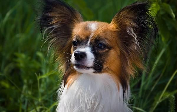 Папильон-собака-Описание-особенности-виды-уход-и-цена-породы-папильон-2