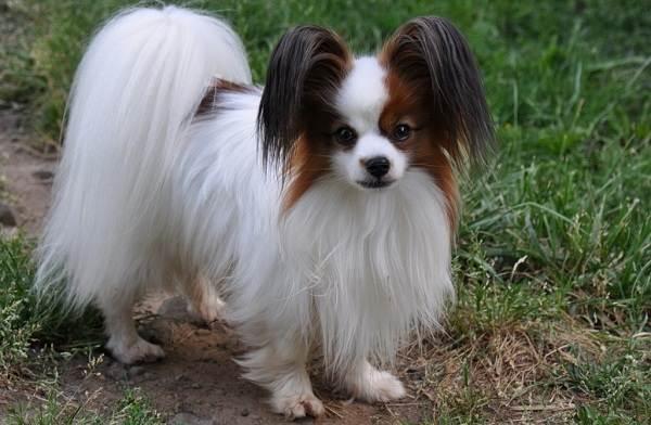 Папильон-собака-Описание-особенности-виды-уход-и-цена-породы-папильон-4