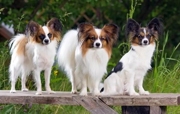 Папильон-собака-Описание-особенности-виды-уход-и-цена-породы-папильон-5