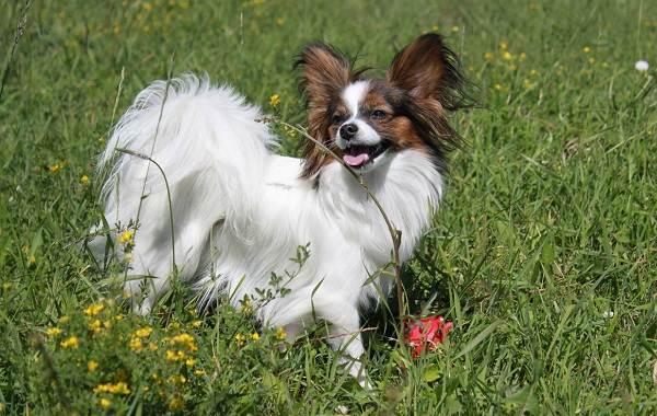 Папильон-собака-Описание-особенности-виды-уход-и-цена-породы-папильон-6