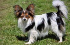 Папильон собака. Описание, особенности, виды, уход и цена породы папильон