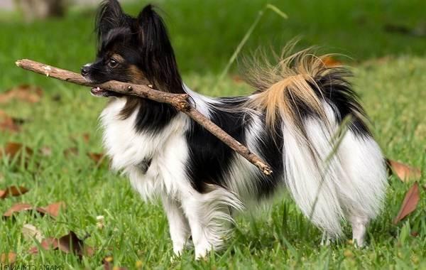 Папильон-собака-Описание-особенности-виды-уход-и-цена-породы-папильон-9