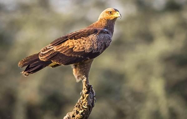 Подорлик-птица-Описание-особенности-виды-образ-жизни-и-среда-обитания-подорлика-10