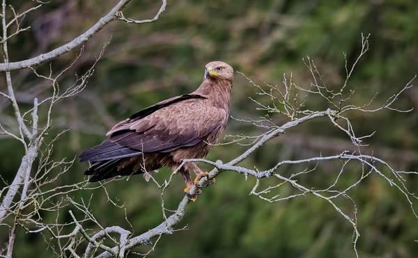 Подорлик-птица-Описание-особенности-виды-образ-жизни-и-среда-обитания-подорлика-11