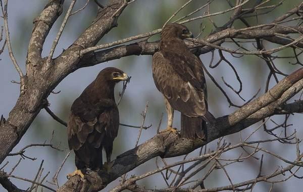 Подорлик-птица-Описание-особенности-виды-образ-жизни-и-среда-обитания-подорлика-12