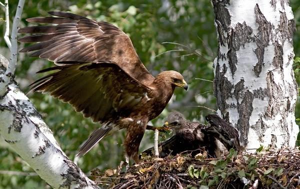 Подорлик-птица-Описание-особенности-виды-образ-жизни-и-среда-обитания-подорлика-13