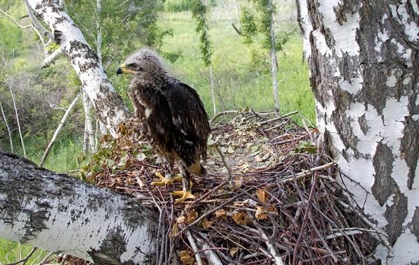 Подорлик-птица-Описание-особенности-виды-образ-жизни-и-среда-обитания-подорлика-14
