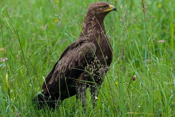 Подорлик-птица-Описание-особенности-виды-образ-жизни-и-среда-обитания-подорлика-2
