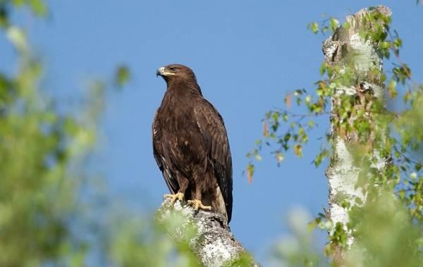 Подорлик-птица-Описание-особенности-виды-образ-жизни-и-среда-обитания-подорлика-3