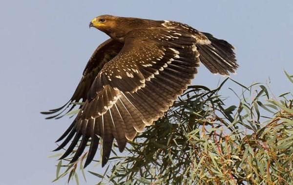 Подорлик-птица-Описание-особенности-виды-образ-жизни-и-среда-обитания-подорлика-4