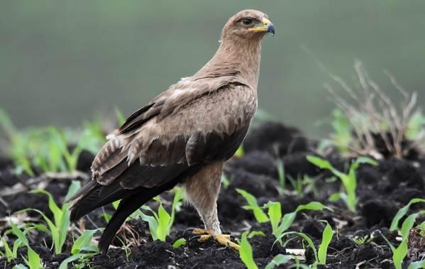 Подорлик-птица-Описание-особенности-виды-образ-жизни-и-среда-обитания-подорлика-6