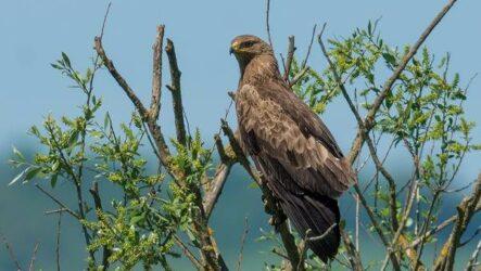 Подорлик птица. Описание, особенности, виды, образ жизни и среда обитания подорлика