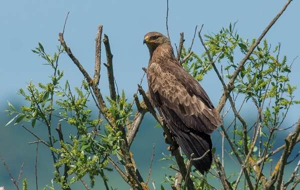 Подорлик-птица-Описание-особенности-виды-образ-жизни-и-среда-обитания-подорлика-7