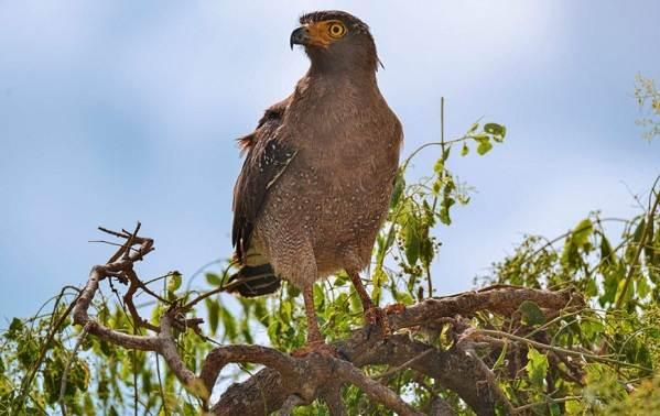 Подорлик-птица-Описание-особенности-виды-образ-жизни-и-среда-обитания-подорлика-8