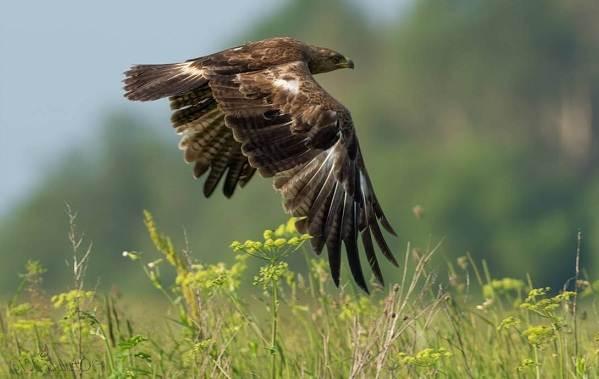 Подорлик-птица-Описание-особенности-виды-образ-жизни-и-среда-обитания-подорлика-9
