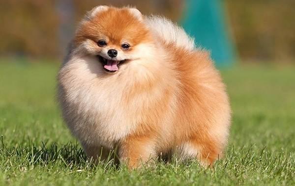 Померанский-шпиц-собака-Описание-особенности-виды-уход-и-цена-породы-1