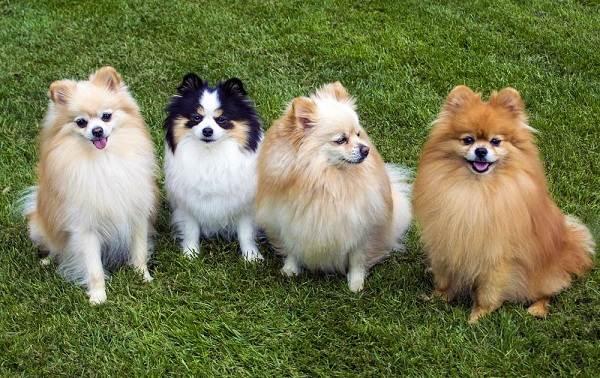 Померанский-шпиц-собака-Описание-особенности-виды-уход-и-цена-породы-10
