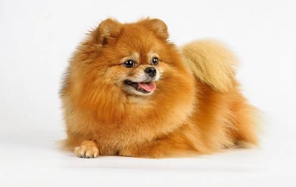Померанский-шпиц-собака-Описание-особенности-виды-уход-и-цена-породы-11