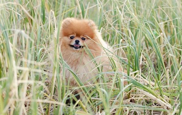 Померанский-шпиц-собака-Описание-особенности-виды-уход-и-цена-породы-12