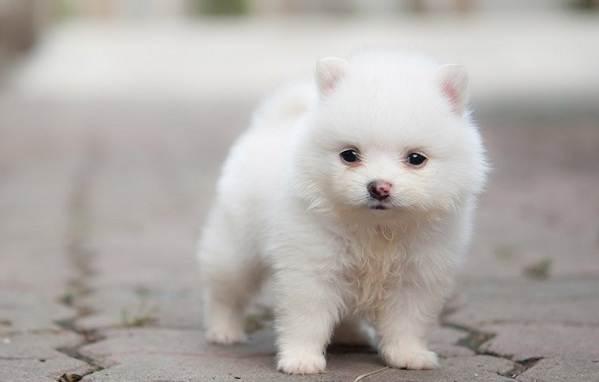 Померанский-шпиц-собака-Описание-особенности-виды-уход-и-цена-породы-14
