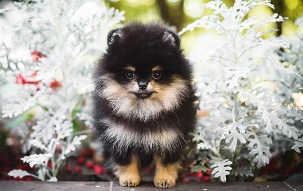 Померанский-шпиц-собака-Описание-особенности-виды-уход-и-цена-породы-17