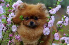 Померанский шпиц собака. Описание, особенности, виды, уход и цена породы