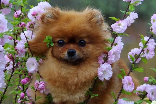 Померанский-шпиц-собака-Описание-особенности-виды-уход-и-цена-породы-18