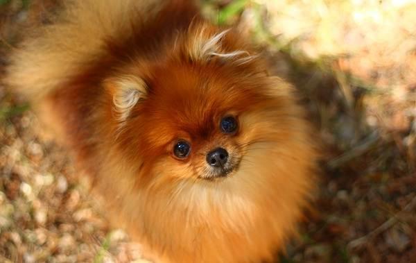 Померанский-шпиц-собака-Описание-особенности-виды-уход-и-цена-породы-2