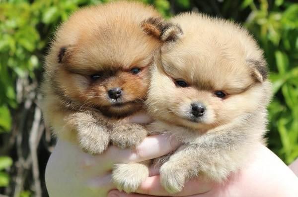 Померанский-шпиц-собака-Описание-особенности-виды-уход-и-цена-породы-20