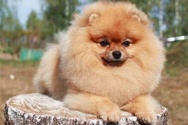 Померанский-шпиц-собака-Описание-особенности-виды-уход-и-цена-породы-3