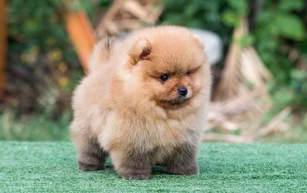 Померанский-шпиц-собака-Описание-особенности-виды-уход-и-цена-породы-4