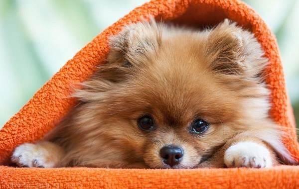 Померанский-шпиц-собака-Описание-особенности-виды-уход-и-цена-породы-5