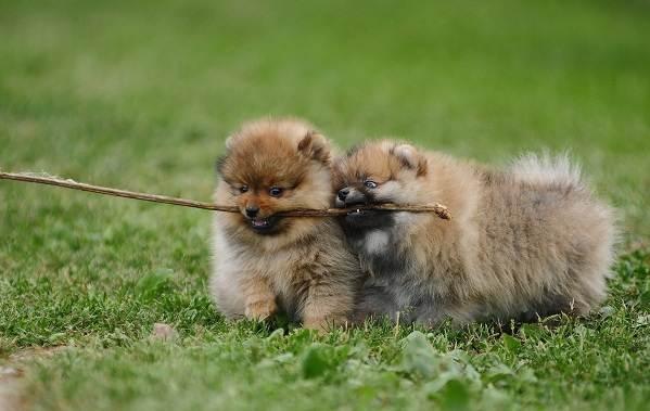 Померанский-шпиц-собака-Описание-особенности-виды-уход-и-цена-породы-6