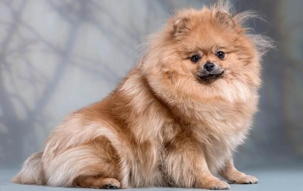 Померанский-шпиц-собака-Описание-особенности-виды-уход-и-цена-породы-7