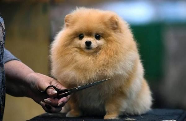 Померанский-шпиц-собака-Описание-особенности-виды-уход-и-цена-породы-8