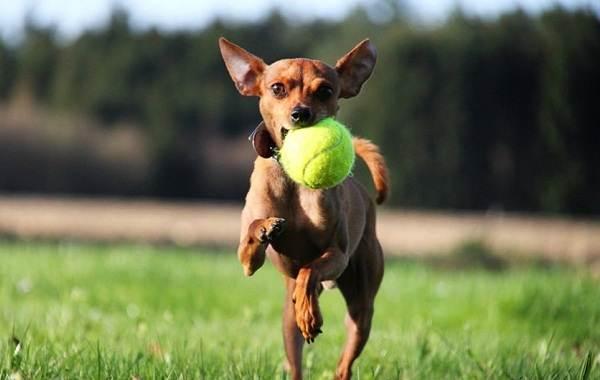 Пражский-крысарик-собака-Описание-особенности-виды-уход-и-цена-породы-10