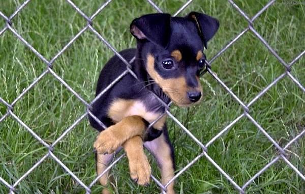 Пражский-крысарик-собака-Описание-особенности-виды-уход-и-цена-породы-12