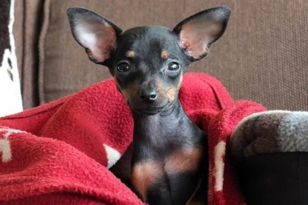 Пражский-крысарик-собака-Описание-особенности-виды-уход-и-цена-породы-3