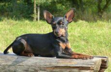 Пражский крысарик собака. Описание, особенности, виды, уход и цена породы