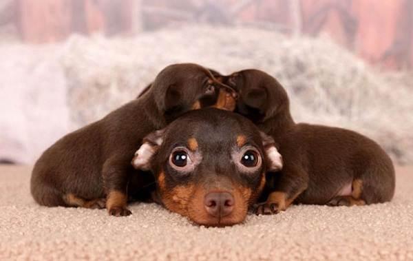 Пражский-крысарик-собака-Описание-особенности-виды-уход-и-цена-породы-8