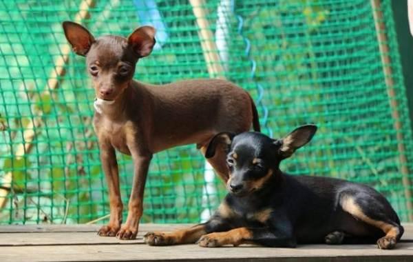 Пражский-крысарик-собака-Описание-особенности-виды-уход-и-цена-породы-9