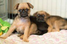 Пти-брабансон собака. Описание, особенности, виды, уход и цена породы