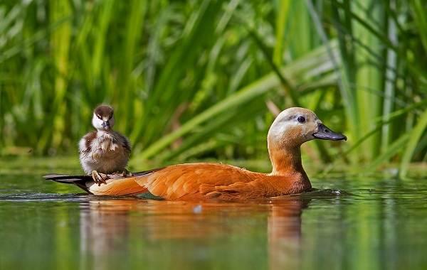 Птицы-Татарстана-Описание-названия-виды-и-фото-птиц-Татарстана-13