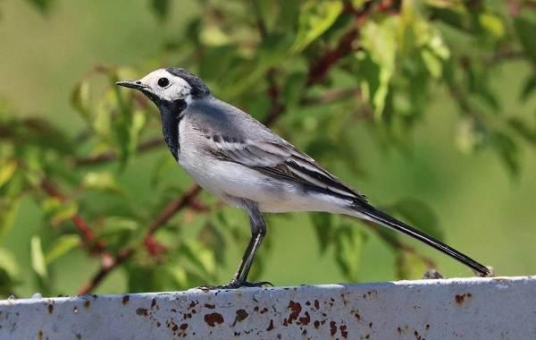 Птицы-Татарстана-Описание-названия-виды-и-фото-птиц-Татарстана-23