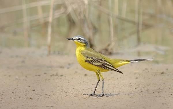 Птицы-Татарстана-Описание-названия-виды-и-фото-птиц-Татарстана-24