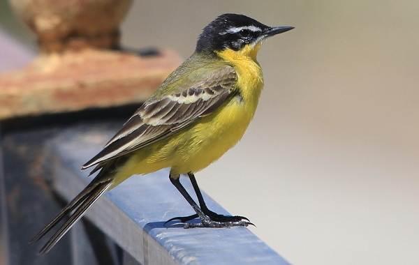 Птицы-Татарстана-Описание-названия-виды-и-фото-птиц-Татарстана-28