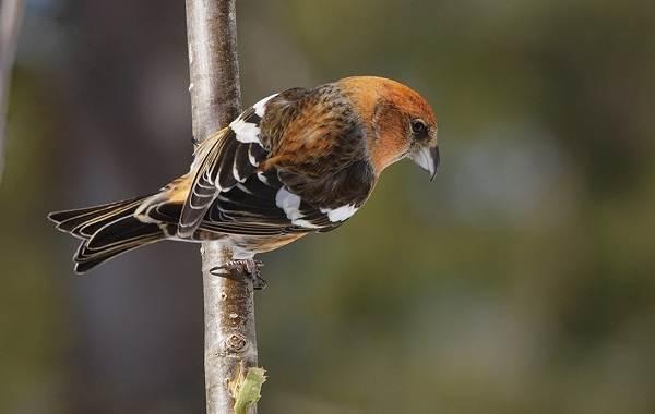 Птицы-Татарстана-Описание-названия-виды-и-фото-птиц-Татарстана-34