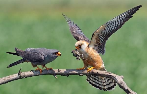 Птицы-Татарстана-Описание-названия-виды-и-фото-птиц-Татарстана-5