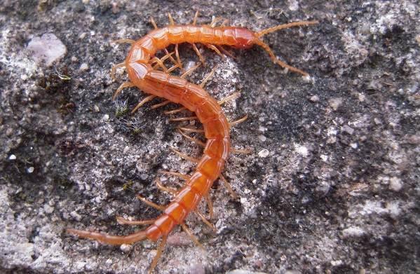 Сколопендра-многоножка-Описание-особенности-виды-образ-жизни-и-среда-обитания-сколопендры-12