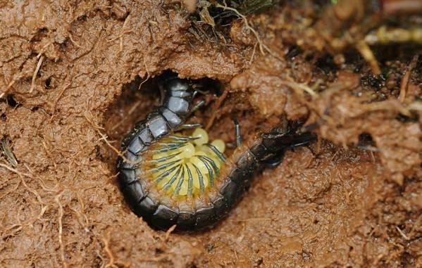 Сколопендра-многоножка-Описание-особенности-виды-образ-жизни-и-среда-обитания-сколопендры-15